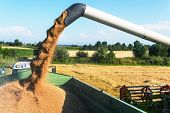 foto of combine  - a cornfield with wheat at harvest - JPG