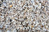 Beach full of Zebra Mussel shells