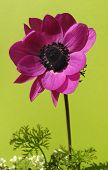 Anemone Isolated On Green
