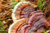 foto of mushroom  - Ganoderma Lucidum - Ling Zhi Mushroom in nature