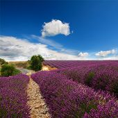 Beautiful image of lavender field