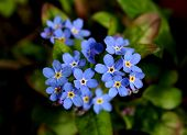 stock photo of forget me not  - delicate blue forget - JPG