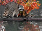 Raccoon (Procyon lotor) With Reflection