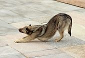 stock photo of arch foot  - Brown dog flexes pulling the front paws and arching his back - JPG