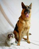 Shih Tzu And German Shepherd