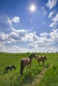 Grazing Horses, Bright Sunlight, Wide Angle