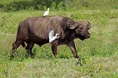 African buffalo (Syncerus caffer) with egrets, Lake Nakuru National Park, Kenya