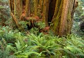 foto of redwood forest  - redwood tree trunk with sword fern undergrowth - JPG
