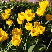 picture of monocots  - Tulips flower  - JPG