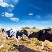 Friesian cows kissing each other in Menorca Balearic Islands