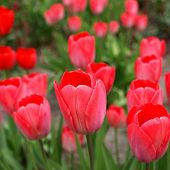 pic of angiosperms  - Tulips flower  - JPG