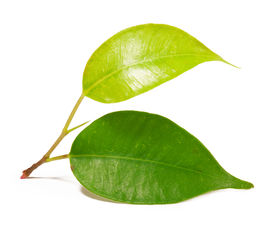 picture of photosynthesis  - leaf isolated on white background - JPG