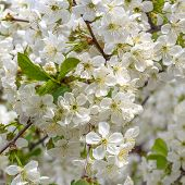 Cherry Blossoming. Natural Background, Spring Flowers Closeup