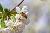 A Bee On The Spring Flower Cherry
