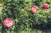 Rose Garden