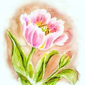 Pink tulips, watercolor painting.