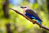 Blue-Bellied Roller (Coracias cyanogaster) perched on a branch