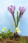 picture of hazy  - Spring flowers primroses and purple crocus growing in grass and moss against a blue sky with hazy white cloud - JPG