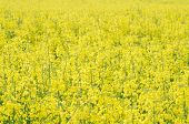 Yellow Rapeseed Field