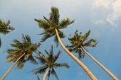 Tropical coconut palm trees on clear blue sky background, low angle view