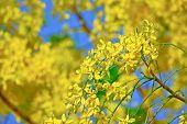 Golden Shower Tree Flower With Blue Sky