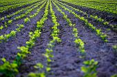 stock photo of plowed field  - Young soybean growing on field Shallow depth of field  - JPG