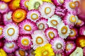 Everlasting Flowers Background