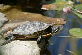 Turtle on a stone in a pond