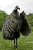 Helmeted Guineafowl Flapping Its Wings