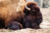 American Bison (bison Bison) Or Buffalo