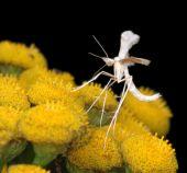 The Tiny  White Plume Moth Pterophorus Pentadactyla