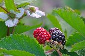 Blackberry Flower And Fruit
