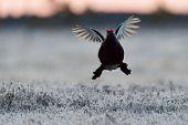 Black Grouse Flying