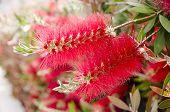 (callistemon) Red Flower Bottle Brush