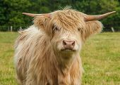 image of highland-cattle  - A Photograph Of Highland Longhorn Cattle In A Field - JPG