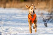 picture of standard poodle  - Golden standard poodle running towards the photographer in winter. ** Note: Soft Focus at 100%, best at smaller sizes - JPG