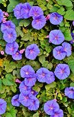 picture of ipomoea  - Close up of blue Ipomoea tricolor Heavenly Blue - JPG