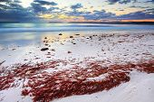 Pretty Red Seaweed Washed Ashore The Beach At Dawn