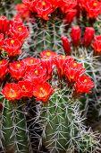 Claret-cup Cactus Flowers