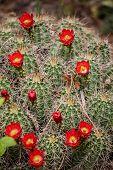 Echinocereus Triglochidiatus Claret-cup Cactus Flowers