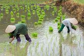 Vietnam Farmer Growth Rice On The Field