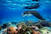 stock photo of manta ray  - Manta ray filter feeding above a coral reef in the blue Komodo waters - JPG