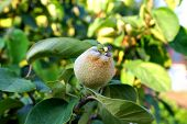 Young quince ,in july,growing in the orchard
