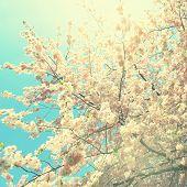 Flowering of apple tree. Instagram style filtred image