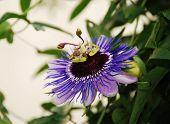 Purple Haze Passiflora