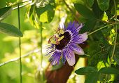 picture of tendril  - A single Purple Haze Passiflora flower an evergreen tendril climbing vine - JPG