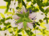 Rear Of Purple Haze Passiflora