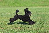 pic of poodle  - Black playful poodle dog running at meadow - JPG