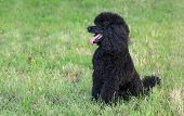Pet Poodle Dog In Nature