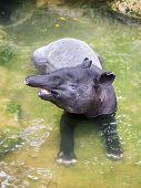Tapir In Shallow Water
